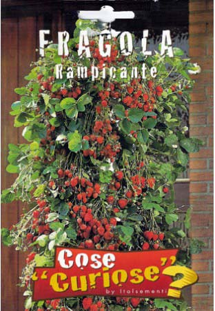 Fragola rampicante cose curiose for Fragole piante in vaso